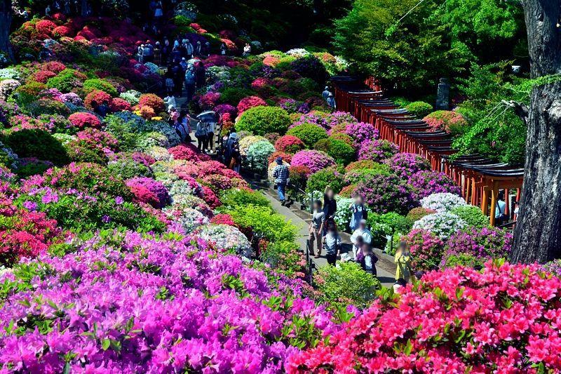 色鮮やかなツツジが圧巻!東京・根津神社「文京つつじまつり」に行こう!