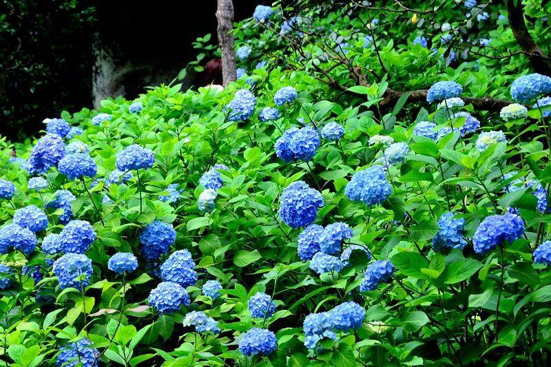 統一感のある明月院ブルー