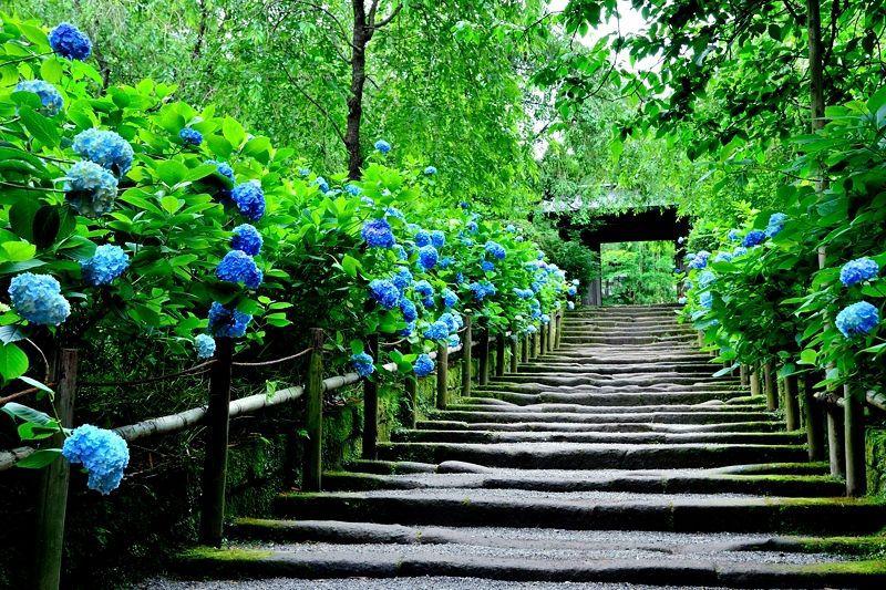 美しすぎる明月院ブルー!鎌倉・明月院はあじさいの名所中の名所!