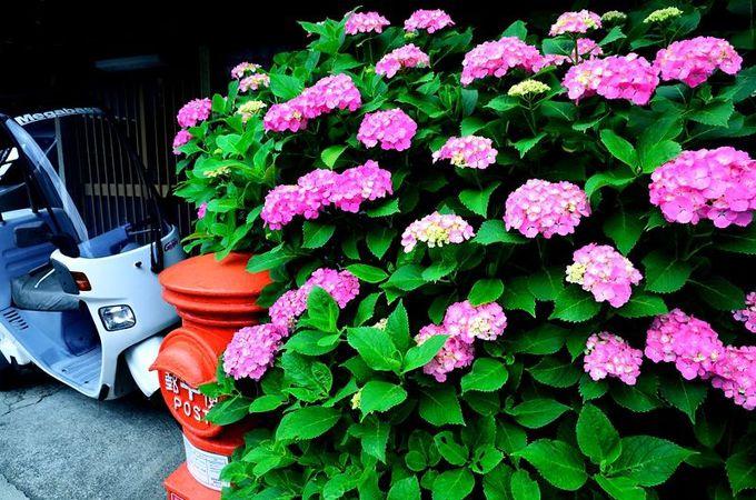 鎌倉の街角に色を添える、あじさいポスト