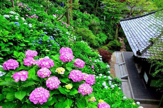 鎌倉を代表する「花の寺」、長谷寺のあじさい