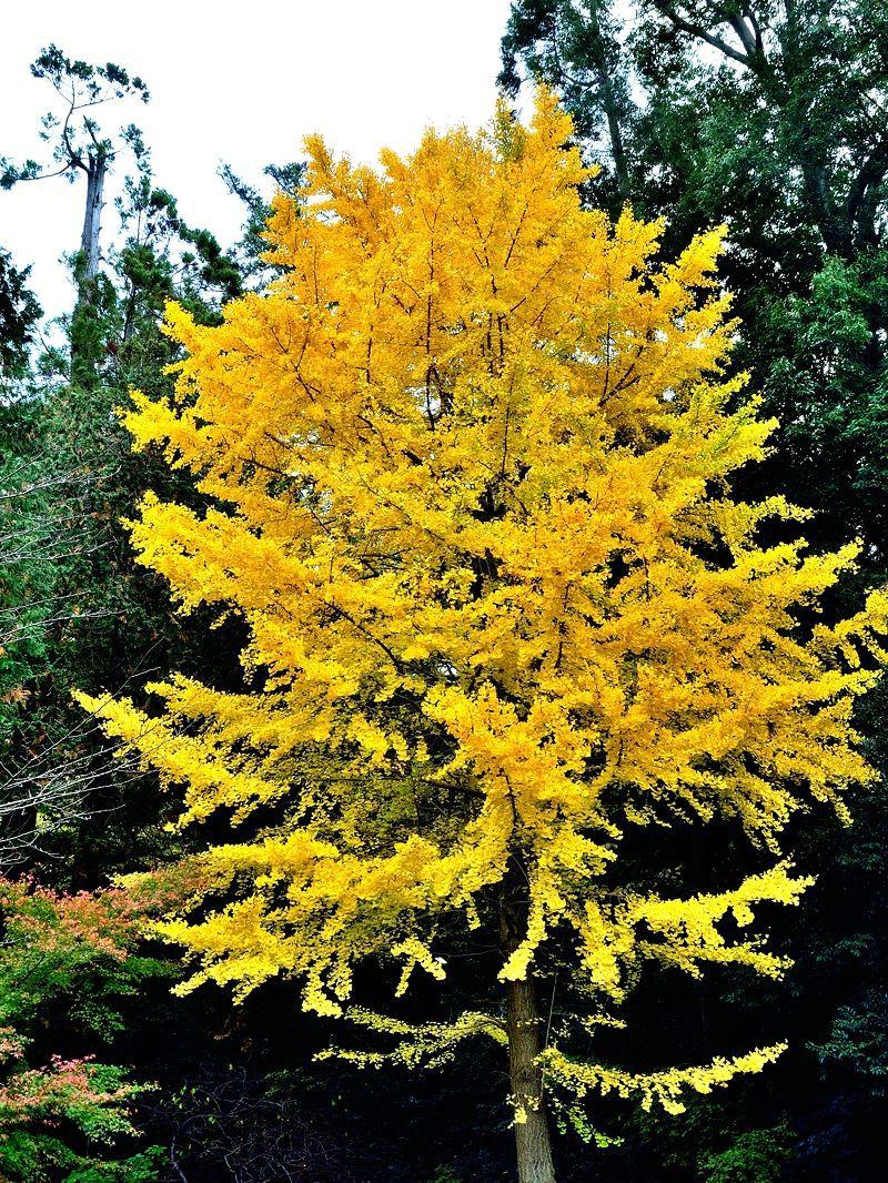 銀杏の黄色も神秘的