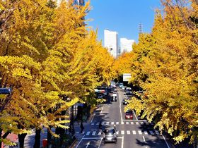 横浜の紅葉シーズンは黄金色!山下公園通りは銀杏の名所だった!