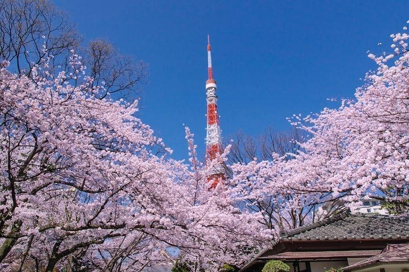 """東京タワーと桜のコラボ!「増上寺」で""""東京らしい桜""""を満喫しよう!"""