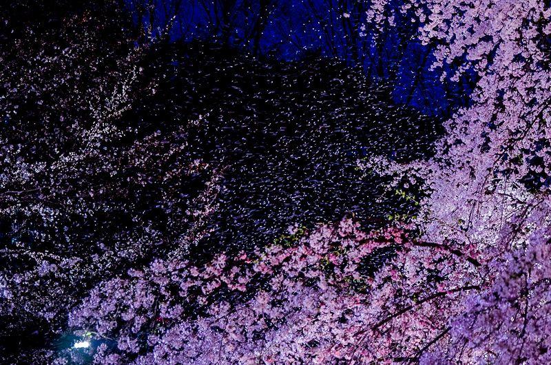 漆黒の夜空に舞う、美しすぎる桜吹雪