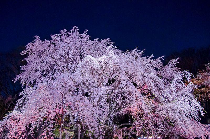 まさに幻想世界!しだれ桜のライトアップ