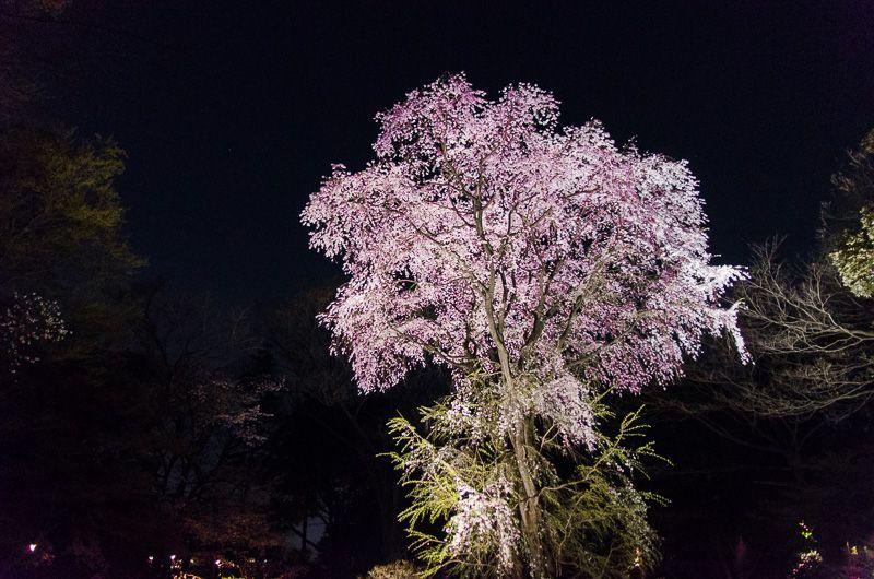 吟花亭のしだれ桜
