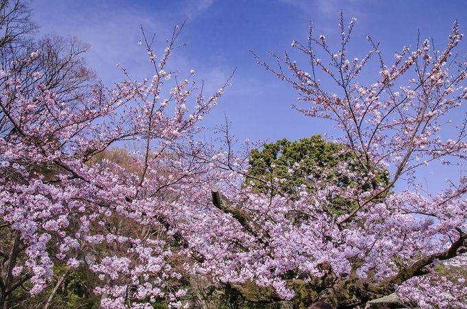 しだれ桜だけじゃない!吹上茶屋のソメイヨシノ