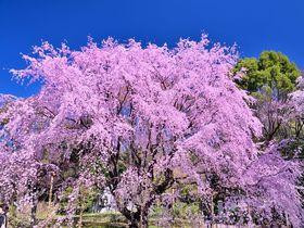 六義園の桜が凄い!歴史ある庭園で東京随一のしだれ桜を味わい尽くそう!