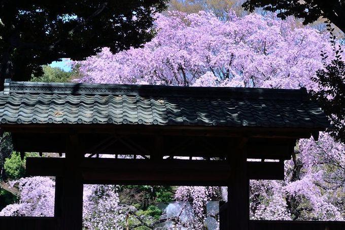「瓦屋根」と「桜」の競演