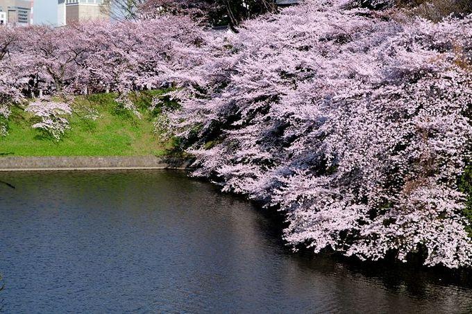 東京屈指の桜名所「千鳥ヶ淵」