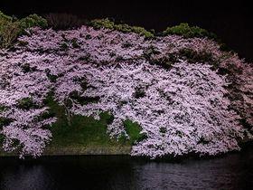 東京「千鳥ヶ淵」の桜ライトアップが凄い!都内屈指の夜桜を味わい尽くす