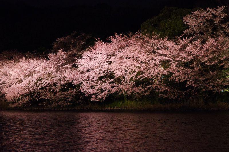 春の三渓園で見る、魅惑の夜桜ライトアップ