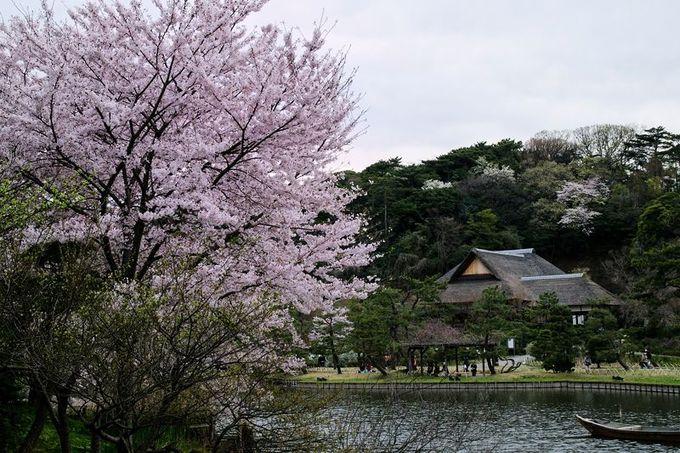 横浜屈指の桜名所「三渓園」