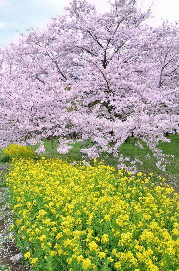 菜の花も楽しめる、東京多摩の花見スポット!「小金井公園」