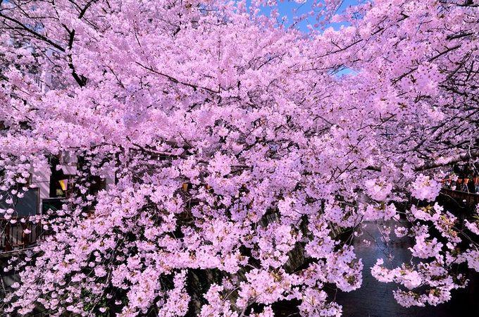 圧倒的な桜のボリューム感