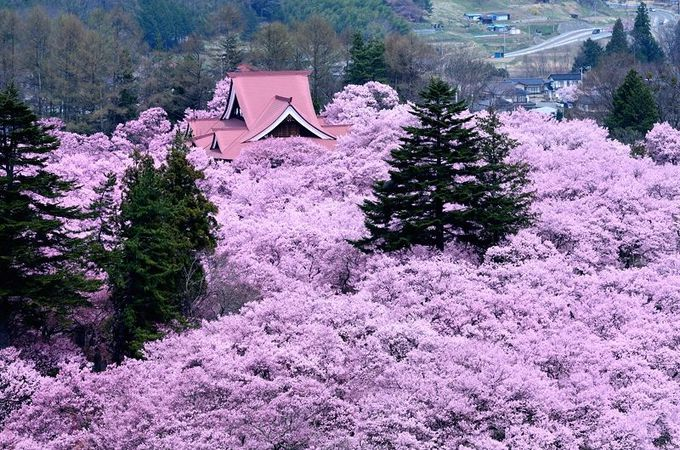 まさに桜の海!長野が誇る桜の名所「高遠城趾公園」