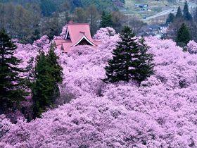一度は行きたい桜の名所!専門家が教えるお花見スポット2019