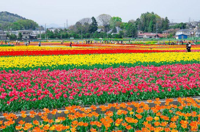 ここは東京?約40万球のチューリップ畑が美しすぎる!