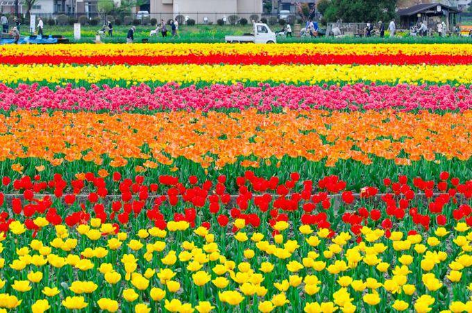 東京都内屈指!羽村市のチューリップ畑