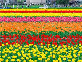 羽村のチューリップ畑が圧巻!東京とは思えない40万球の春色絨毯が絶景すぎる!
