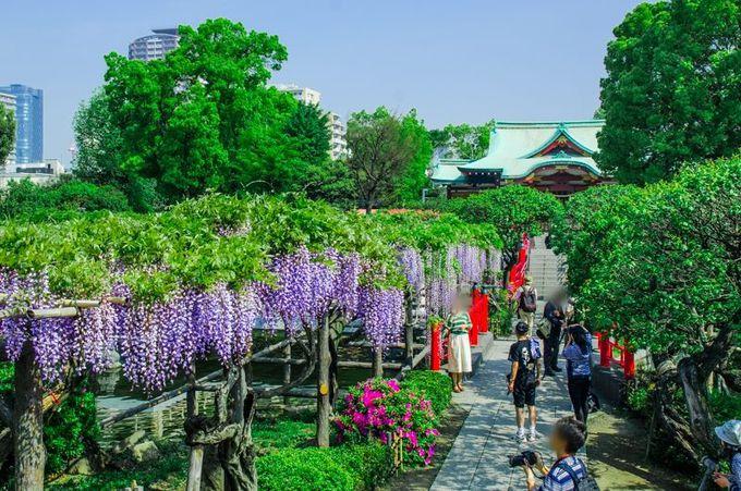 歌川広重も描いた!江戸時代からの藤の名所「亀戸天神社」
