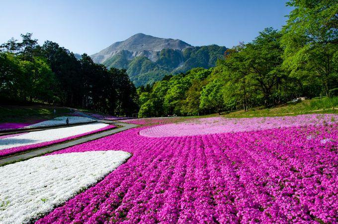 名峰「武甲山」と芝桜