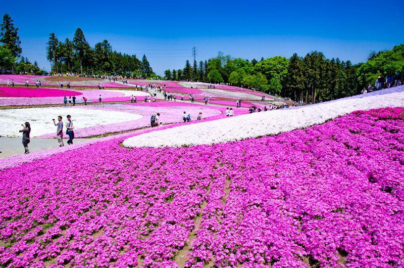 秩父・羊山公園は芝桜の名所!関東随一の花の絨毯が美しすぎる!