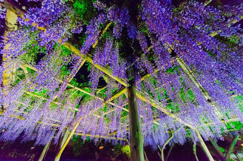 """亀戸天神社の「藤ライトアップ」が凄い!花の名所は""""夜""""もおすすめ!"""