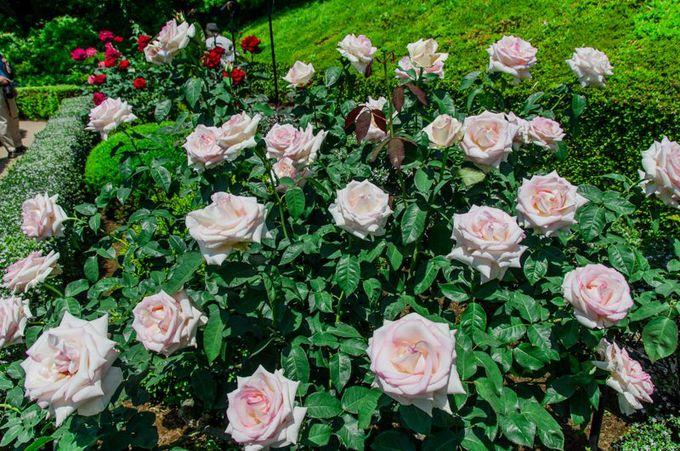「人気投票」も実施!旧古河庭園を彩る約90種180株のバラたち