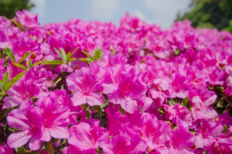 鎌倉・安養院に咲く「オオムラサキツツジ」