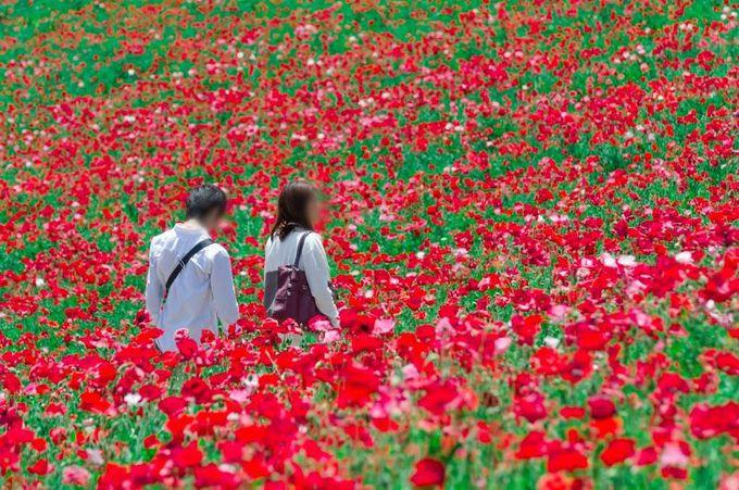 昭和記念公園で歩きたい!シャーレーポピーに包まれる散歩道!