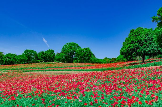 広大な花畑を埋め尽くす!180万本のシャーレーポピー!