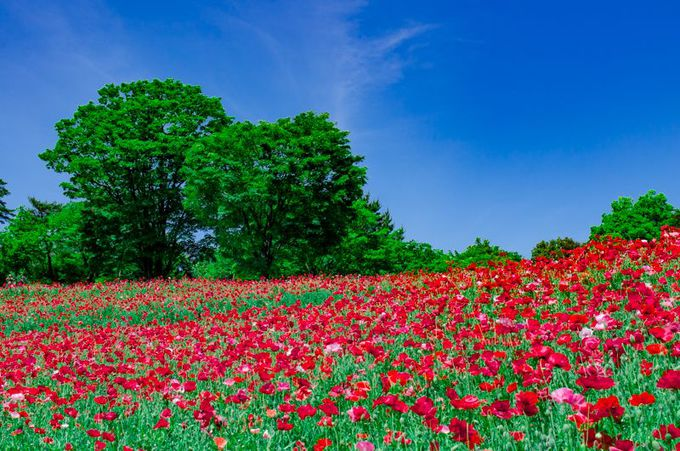 春の昭和記念公園を彩る「シャーレーポピー」!