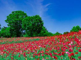 昭和記念公園の「シャーレーポピー」が凄い!東京都内の花の名所で楽しむ赤い大地!