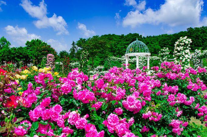 千葉県屈指のバラの名所「京成バラ園」