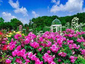 「京成バラ園」が凄い!千葉県屈指のバラの名所を楽しみ尽くす