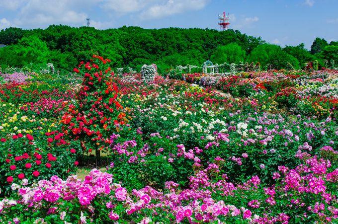 京成バラ園に咲き誇る約1600品種10000株