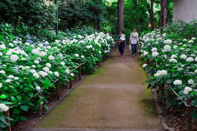 アナベルの咲き乱れる「白い小径」