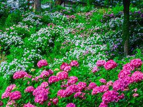 「小田原城」はあじさいの名所!北条氏ゆかりの名城で梅雨の花を楽しもう