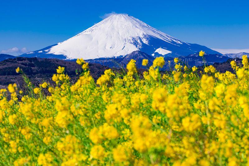 神奈川「吾妻山公園」。菜の花と富士山との絶景を堪能!
