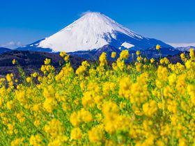 """神奈川「吾妻山公園」は""""菜の花""""の名所!富士山との共演が絶景すぎる!"""