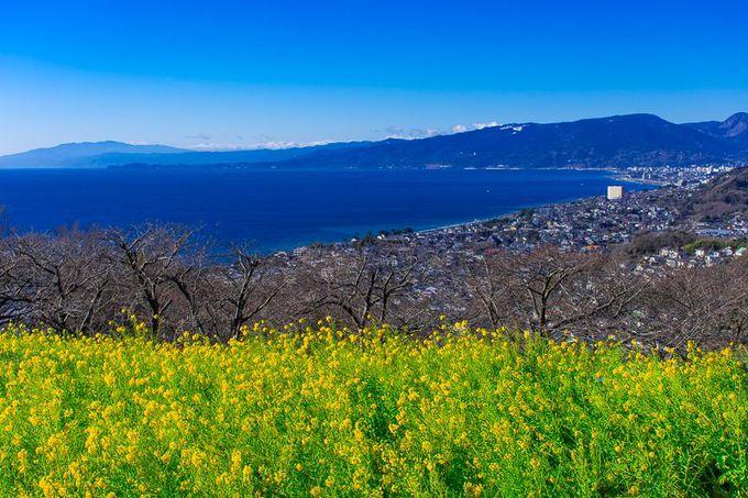 吾妻山公園から見下ろす「相模湾」と「菜の花」