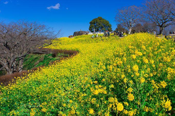 吾妻山公園は菜の花の名所
