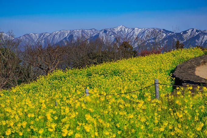 吾妻山公園の絶景!「丹沢」と「菜の花」