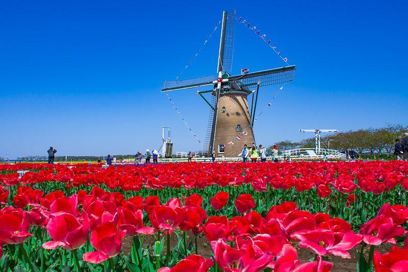 まるでオランダ!「チューリップ」と「風車」の絶景!