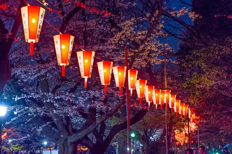 上野公園の夜桜を照らす「ぼんぼり」