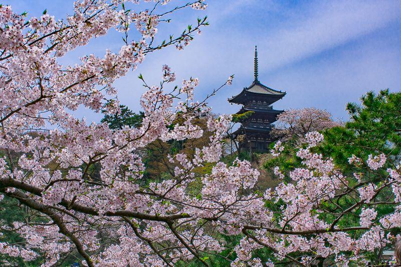 三渓園のシンボル!木造最古の「三重塔」と「桜」