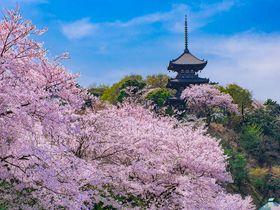 横浜「三渓園」は桜の名所!日本建築との調和が美しい花見スポット!