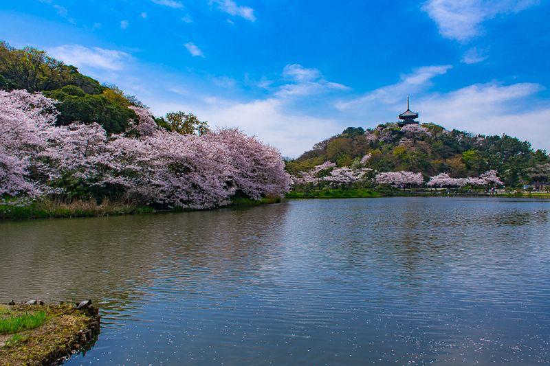 横浜「三渓園」は桜の名所!